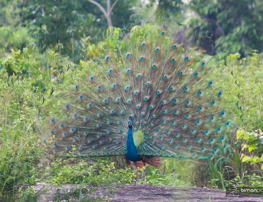 peacock @ Yala sri lanka - wildlife guide by The Fantasy Escape